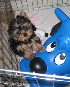 Yorkshire Terriers - Yorkie Puppies - Breeder Information