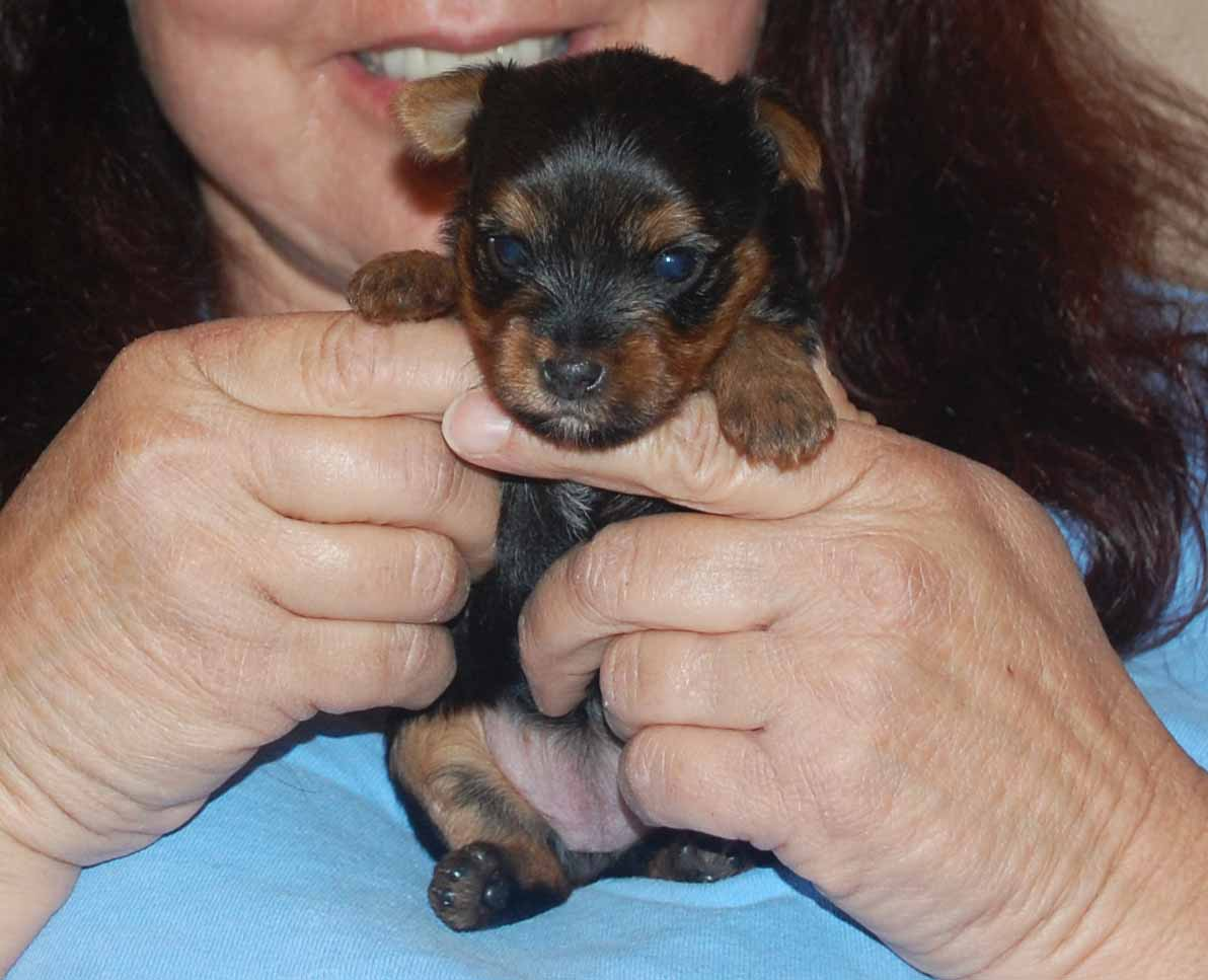 tips on raising a yorkie puppy to download tips on raising a yorkie ...
